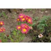 "Chrysanthemum indicum ""Oury"" Pflanze"