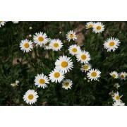 Chrysanthemum leucanthemum, Wiesenmargarite Pflanze