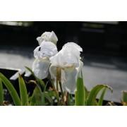 Iris florentina, Veilchenwurzel  Pflanze