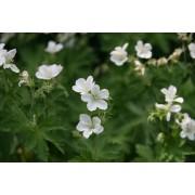 """Geranium sylvaticum """"Album"""", Wald-Storchschnabel  Pflanze"""