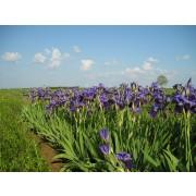 Iris germanica, Deutsche Schwertlilie  Pflanze