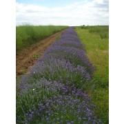Lavendelblüten Kräutertee