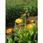 Calendula officinalis, Ringelblume  Samen