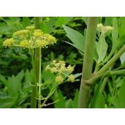 Liebstock, Levisticum officinalis  Samen