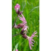 Lychnis flos-cuculi, Kuckuckslichtnelke Pflanze