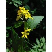 Lysimachia vulgaris, Gemeiner Gildweiderich Pflanze
