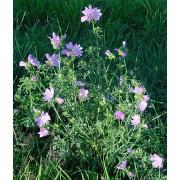 Malva moschata, Moschusmalve  Pflanze