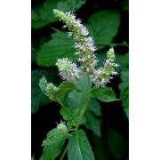 Mentha longifolia , Roßminze Pflanze