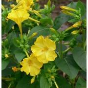 Mirabilis jalapa, Wunderblume