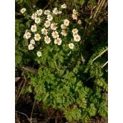Chrysanthemum parthenium, Mutterkraut  Pflanze
