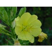 Rapontika, Nachtkerze, Oenothera biennis  Samen