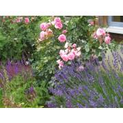 Lavendel, Echter, Lavandula officinalis  Samen