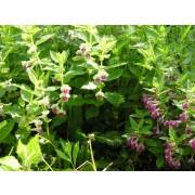 Melittis melissophyllum, Immenblatt, Waldmelisse  Pflanze