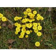 Tussilago farfara, Huflattich  Pflanze