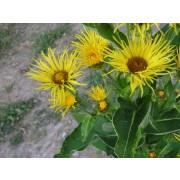 Inula helenium, Alant  Pflanze