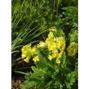 Wiesenschlüsselblume, Primula veris  Samen