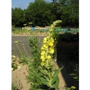 Verbascum densiflorum, Königskerze Pflanze