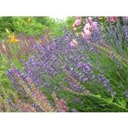 Lavendel Hidcote Blue  Pflanze
