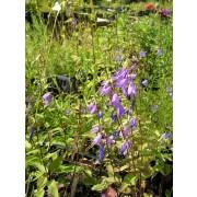 Campanula trachelium, Nesselblatt-Glockenblume  Samen