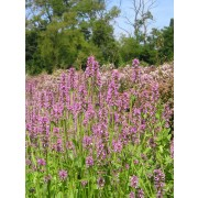 Stachys officinalis , Ziest  Pflanze
