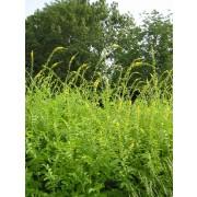 Agrimonia odorata, Odermennig  Pflanze