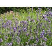 Lavandula angustifolia, Echter Lavendel  Pflanze