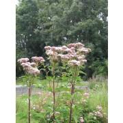 Eupatorium cannabinum, Wasserdost, Wasserhanf  Samen