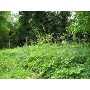 Cimicifuga racemosa, Traubensilberkerze  Samen
