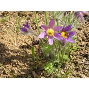 Pulsatilla vulgaris, Küchenschelle  Samen