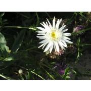 "Chrysanthemum Maximum-Hybr. ""Christine Hagemann"""