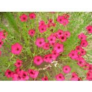 Linum grandiflorum, Roter Lein  Samen