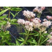 Eupatorium cannabinum, Wasserdost Pflanze