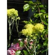 Thalictrum flavum, Gelbe Wiesenraute Samen