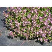 Thymus pulegioides, Wilder Thymian  50 Stck.