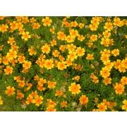 Orangen-Tagetes, Orange Gem