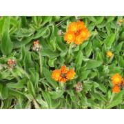 Hieracium aurantiacum, Habichtskraut  Pflanze