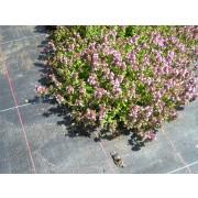 Thymus pulegioides, Feldthymian Pflanze