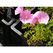 Malva alcea, Rosenmalve  Pflanze