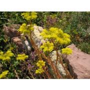 Sedum reflexum, Tripmadam   Pflanze