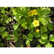 Waldsteinia ternata, Waldsteinie  Pflanze