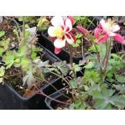 "Aquilegia caerulea ""Rotstern"" , Akelei"