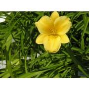 """Hemerocallis Hybride """"Stella de Oro"""", Zwerg-Taglilie"""