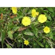 Hieracium pilosella, Kleines Habichtskraut  Pflanze
