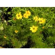"Coreopsis verticillata ""Grandiflora"" Mädchenauge Pflanze"