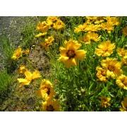 "Coreopsis lanceolata ""Sterntaler""  Pflanze"