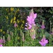 "Physostegia virginiana ""Vivid"" Gelenkblume  Pflanze"