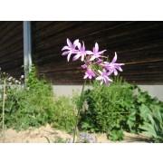 Zimmerknoblauch  Pflanze