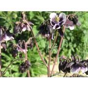 """Aquilegia vulgaris """"William Guiness"""", Akelei"""