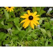Rudbeckia fulgida Goldsturm, Sonnenhut Pflanze