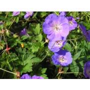 Geranium  Rozanne  Pflanze